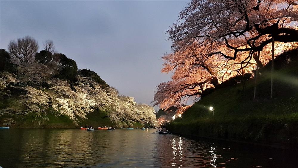 sakura chidorigafuchi